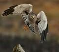 Northern Harrier_0702