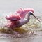 Spoonbill Bathing in Marsh Pond