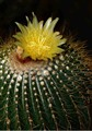 cactus flower #1 copy