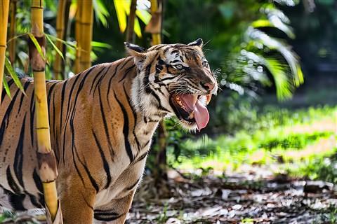 0011_TigerNZ