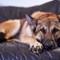 Tahoe_sleeping_dog