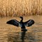 Cormorant wing stretching: