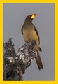 Yellow-billed Oxpecker