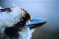Gazing kookaburra