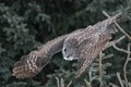 Great Grey Owl Swooping for Dinner