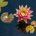 A Waterlily