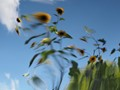 My Inner Monet - Sunflowers