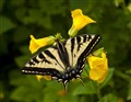 Swallowtail & Monkeyflowers