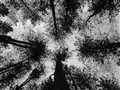 Delamere Conifers