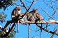 vervet monkey family basking in morning sun baby sucking-2