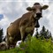 Switzerland ...cows still outnumber banks