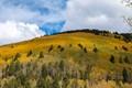 Aspen grove above Santa Fe New Mexico