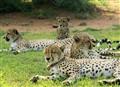 Cheetah x 4