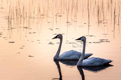 Seney Swans-1