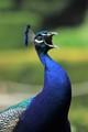 Peacock Mating Call