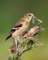 female goldfinch copy