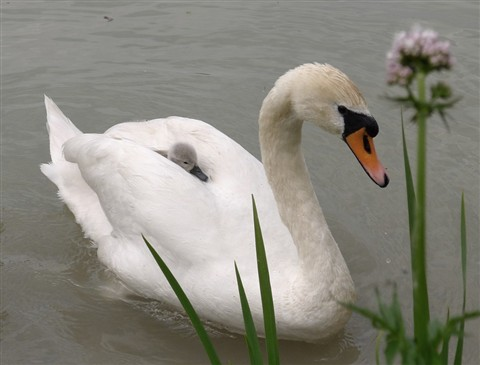 swan together with young