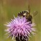 bee on thistle (1)