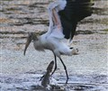 Wood Stork Steps on Baby Gator