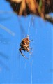 Spider in Pine tree
