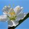 pear_trees_SINGLE_flower