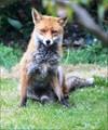 7DC_1132a-fox-garden-screen-1200