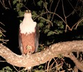 African Fish Eagle at Night