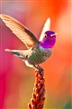 Hummingbird taking flight