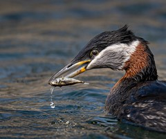 Red necked grebe consuming a fish