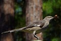 Mockingbird having lunch