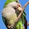 IMG_3477 Parakeet - Cropped Image