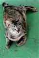 Sabah Cat