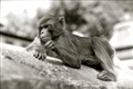 monkey_calm