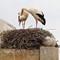 Storks waiting spring