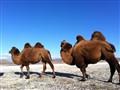 Camel in salty lake