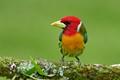 Torito - Red-head barbet