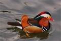 manderine duck