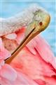 Roseate spoonbill preening, detail