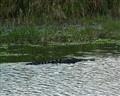 Alligator - Stick Marsh - Fellsmere FL