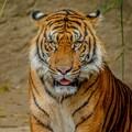 Tiger-LA Zoo-5631
