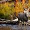 mule deer buck in stream