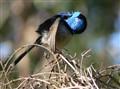 Blue Wren grooming