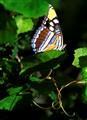 _MG_5447 Butterfly f 10x14