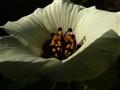 Inside Hibiscus trionium