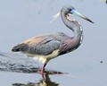 Tri-Colored Heron with Breeding Plumage