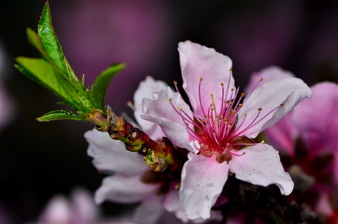 fleur de pecher2