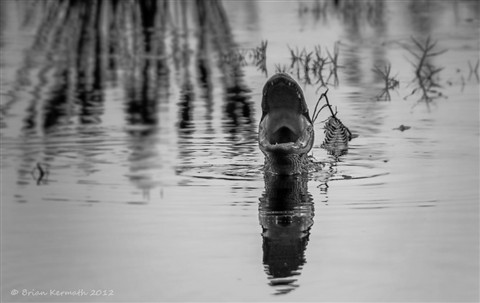 """""""Gator yawn""""  --  wide open mouth in the twilight at dusk"""