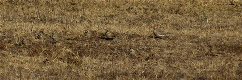 A Springul of Horned Larks