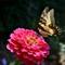 Zinnia & Swallowtail