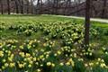 Daffodil Puzzle